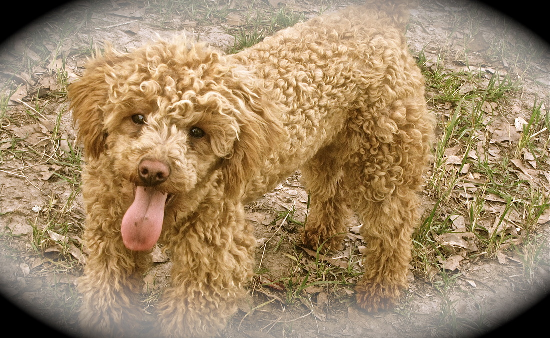Shady Oaks Goldendoodles - Home